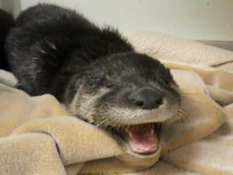Cute Two Orphaned Baby Otters