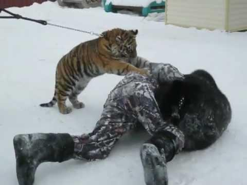 Cute - Tiger Cub And Bear Cub Play Fighting With The Guy