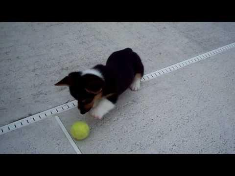 Jokes - Corgi Puppy Vs The Tennis Ball