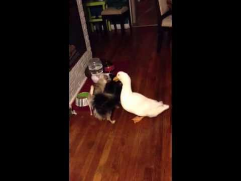 Jokes - Duck Tries To Steal Dog Food