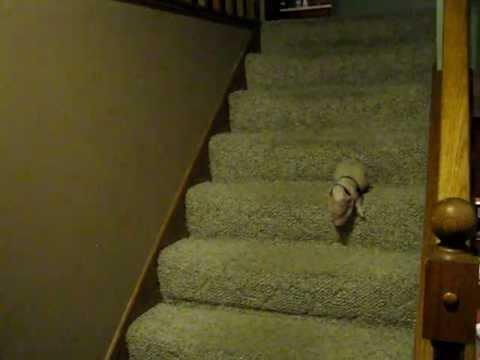 Jokes - Mini Pig Goes Down The Stairs
