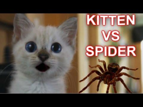 Cute Kitten Tries To Attack The Spider