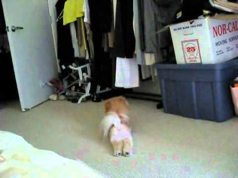 Cute - Lazy Dog Doesn't Like To Walk