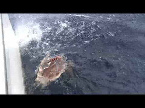 Crazy - Guy Catches 600lb Marlin And Sharks Steal It