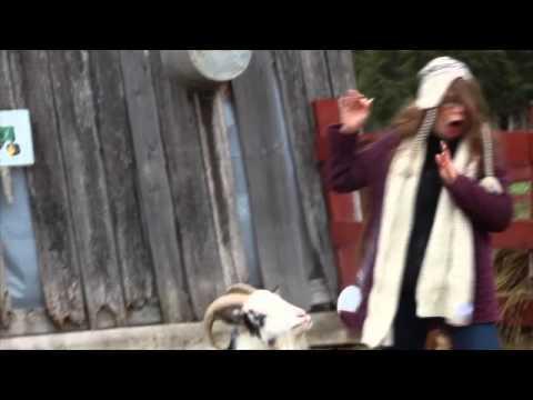 Sneezing Goat Scares The Girl
