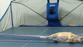 Cat Loves To Play Ping Pong