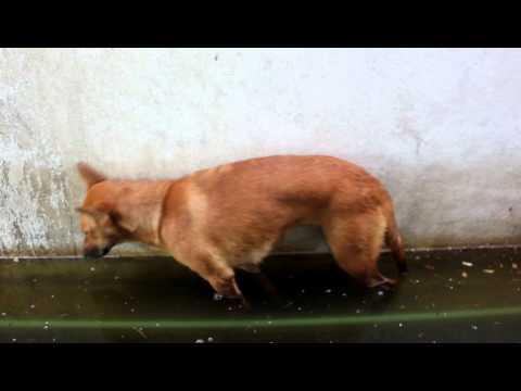 FAIL - Dog Falls Asleep Standing Up Inside Pool of Water
