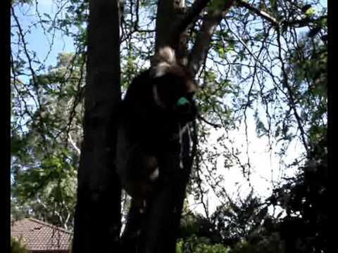 Cute - Koala Drinks Water From Garden Hose