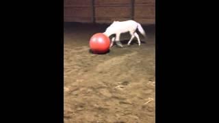 Exercise Ball Vs Mini Horse