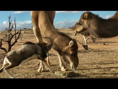 Ram Fights With The Big Camels