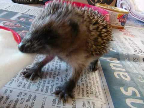 Jokes - Baby Hedgehog Plays Tug Of War
