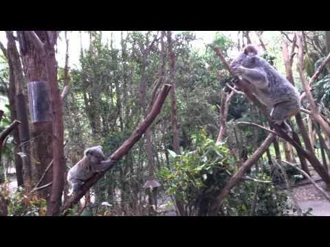 Cute - Mother Koala Rescues Baby
