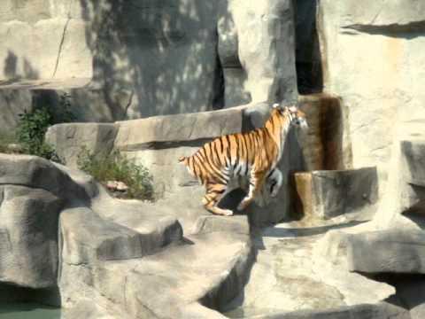 FAIL - Bird Scares A Big Tiger