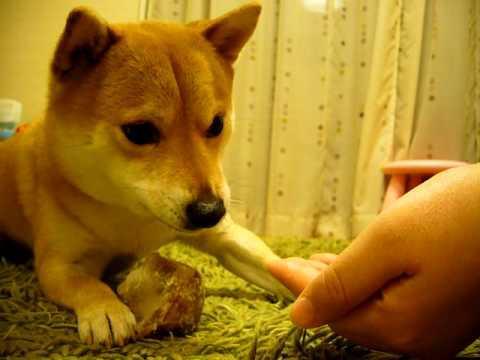 Obedient Shiba Inu Dog