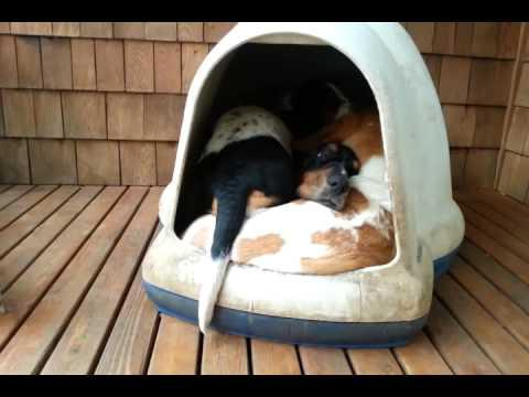 5 Dogs Inside The Dog House - Clown Car