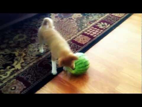 Cute - Puppy Vs Watermelon