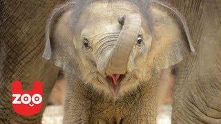 Cutest Baby Elephant At Madrid Zoo