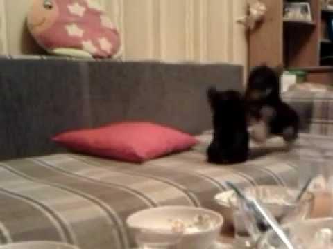 Cute - Puppy Fight