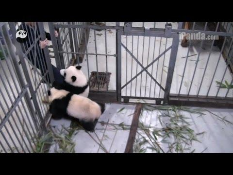 Panda Cub Won't Let Go Of Keeper's Leg