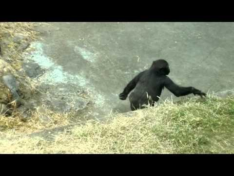 Cute - Gorilla Gets Scared By Bee