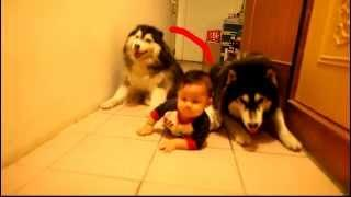 Baby's Crawling Imitated By Two Alaskan Malamutes