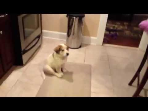 FAIL - Puppy's First Try At Catching Cute FAIL