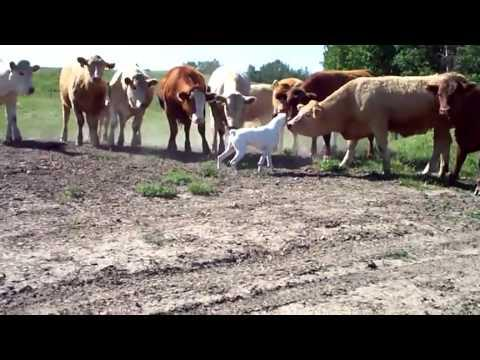 Dog Vs Curious Cows