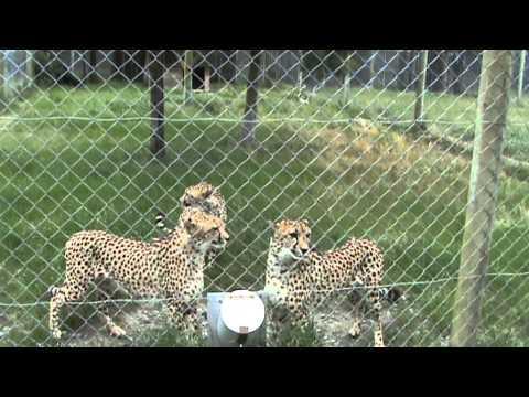 Cute - What Cheetahs Sound Like