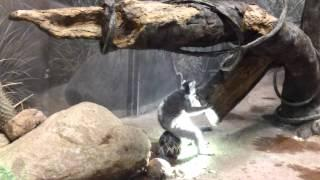 Lemur Uses The Turtle As A Chair