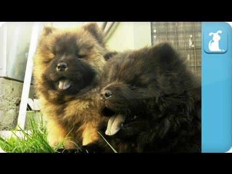 Cute - Chow Chow Puppies Go Out To Play
