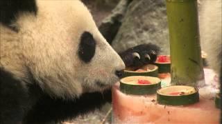 Panda Cub Celebrates 1st Birthday