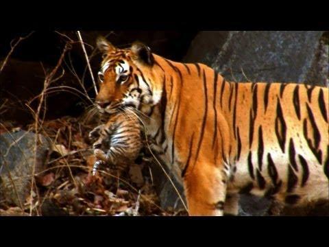 Cute - Wild Tiger Cubs
