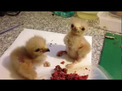 Cute - Hawk Chicks Get Into Fight
