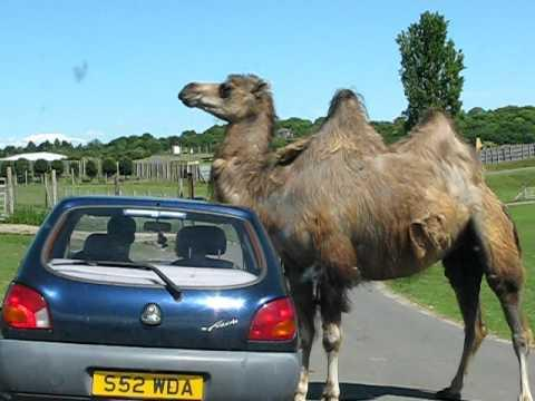 Jokes - Camel Uses Car To Scratch It's Neck