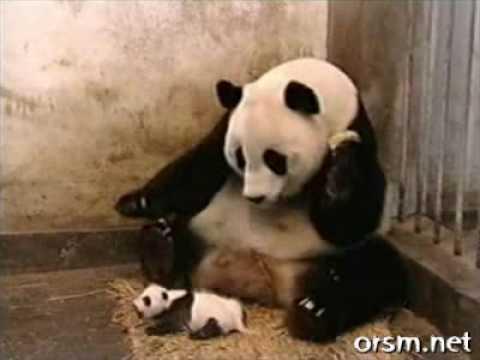 Pandas - The Sneezing Baby Panda