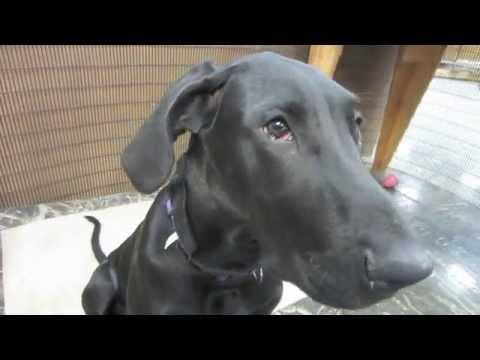 Camera Shy Great Dane Puppy