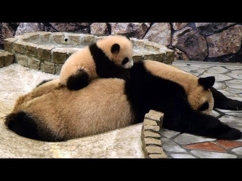 Cute - Panda Cub Plays On Mommy's Back