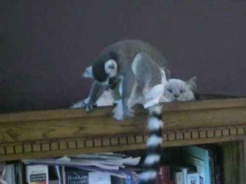 Jokes - Lemur Play Fights With The Cat