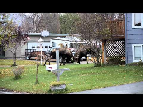 Jokes - Bull Moose Fighting On The Street