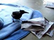 Magpie And The Newspaper