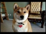 Shiba Inu Dog Shows Off Tricks