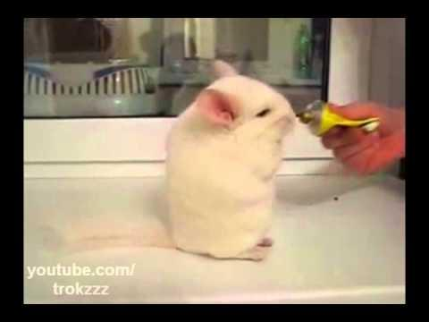 Cute - Chinchilla Marching Towards The Treat