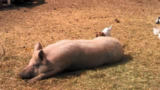 Baby Goat Plays On The Pig