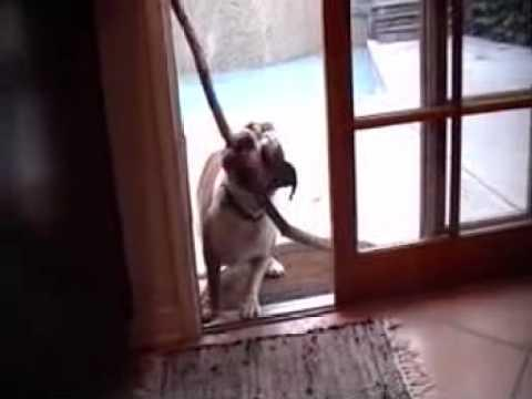Jokes - Dog Tries To Bring A Big Stick Inside The House