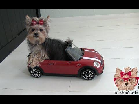Yorkie Shows Off Tricks