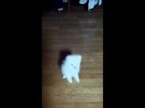 Cute - White Pomeranian Walks On Two Legs