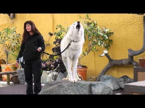 White Arctic Wolf Teaches People How To Howl