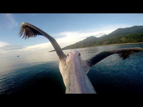 Watch A Pelican Learning To Fly