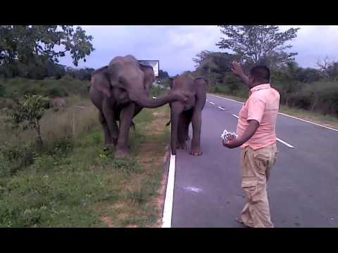 Crazy Guy Scares Off The Charging Elephants