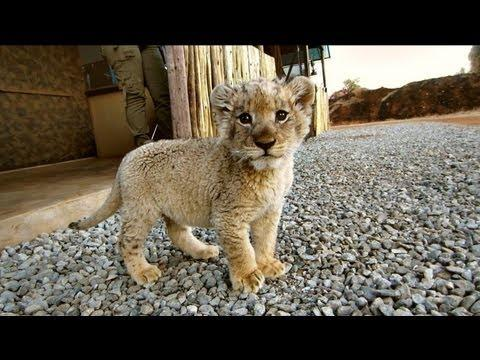 Jon Watson Takes Care Of Lion Cubs